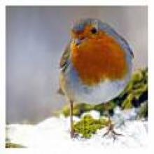 Chrsitmas Robin